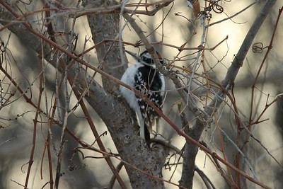 February 1, 2014 - (Minnesota Valley National Wildlife Refuge [near visitor center feeders] / Bloomington, Hennepin County, Minnesota) -- Male Hairy Woodpecker