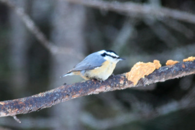 February 4, 2014 - (Sax-Zim Bog / Forbes, Saint Louis County, Minnesota) -- Red-breasted Nuthatch