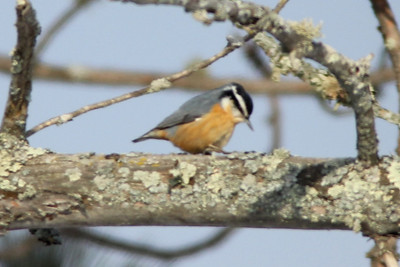 February 3, 2014 - (Sax-Zim Bog / Forbes, Saint Louis County, Minnesota) -- Red-breasted Nuthatch