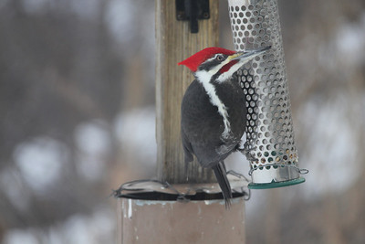 February 1, 2014 - (Minnesota Valley National Wildlife Refuge [at visitor center feeders] / Bloomington, Hennepin County, Minnesota) -- Male Pileated Woodpecker