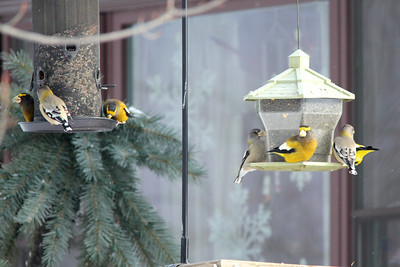 February 3, 2014 - (Sax-Zim Bog / Forbes, Saint Louis County, Minnesota) -- Evening Grosbeaks at feeders