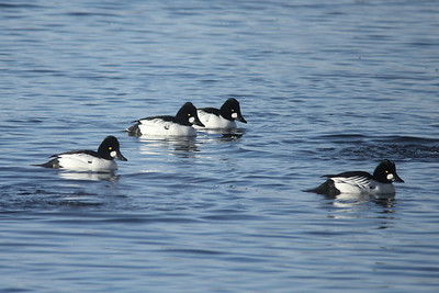February 4, 2014 - (Canal Park / Duluth, Saint Louis County, Minnesota) -- Common Goldeneyes
