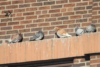 February 4, 2014 - (Canal Park / Duluth, Saint Louis County, Minnesota) -- Rock Pigeons