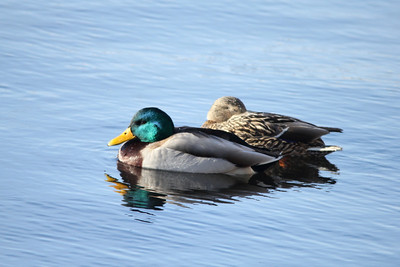 February 4, 2014 - (Canal Park / Duluth, Saint Louis County, Minnesota) -- Pair of Mallards