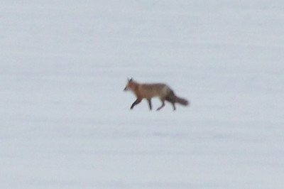 February 2, 2014 - (Wisconsin Point / Superior, Douglas County, Wisconsin) -- Red Fox on Lake Superior