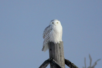 February 3, 2014 - (Sax-Zim Bog / Forbes, Saint Louis County, Minnesota) -- 1st of three Snowy Owls for the day