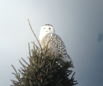 February 3, 2014 - (Sax-Zim Bog / Forbes, Saint Louis County, Minnesota) -- 3rd of three Snowy Owls for the day