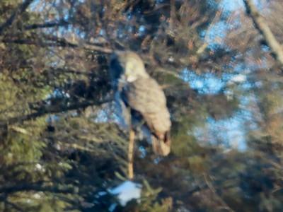 Great Gray Owl @ Sax-Zim Bog [Owl Avenue]