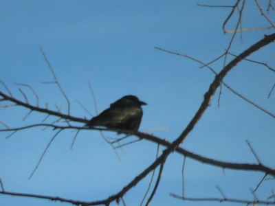 European Starling @ Sax Zim Bog near Racek Road & Hwy 29