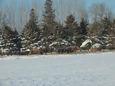 Cattle @ Sax Zim Bog near Racek Road