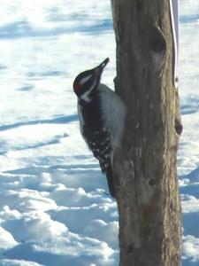 Hairy Woodpecker @ Sax-Zim Bog Welcome Center on Owl Avenue