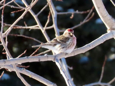 Common Redpoll (Male) @ Sax-Zim Bog Welcome Center on Owl Avenue