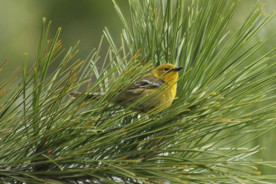 May 18, 2013 - (Rainy Lake [Last Island] / Fort Francis, Rainy River County, Ontario) -- Pine Warbler