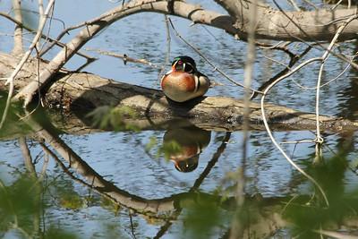 May 16, 2013 - (Fort Snelling State Park [Pike Trail] / West Saint Paul, Dakota County, Minnesota) -- Wood Duck