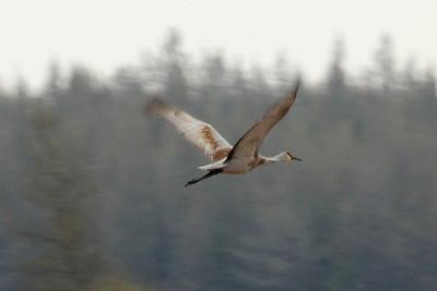 May 19, 2013 - (Sax-Zim Bog [Zim Tract] / Zim, Saint Louis County, Minnesota) -- Sandhill Crane in flight
