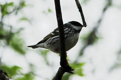 May 16, 2013 - (Minnesota Valley National Wildlife Area [Hillside Trail] / Bloomington, Hennepin County, Minnesota) -- Blackpoll Warbler