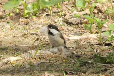 May 16, 2013 - (Minnesota Valley National Wildlife Area [Long Meadow Lake Trail] / Bloomington, Hennepin County, Minnesota) -- Black-capped Chickadee gathering nesting material