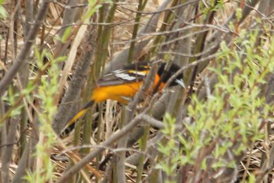 May 19, 2013 - (Sax-Zim Bog [edge of small road] / Zim, Saint Louis County, Minnesota) -- Baltimore Oriole