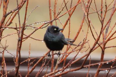 May 20, 2013 - (Sax-Zim Bog [County Road 7] / Zim, Saint Louis County, Minnesota) -- Male Brewer's Blackbird