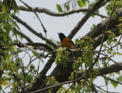 May 16, 2013 - (Fort Snelling State Park [visitor center] / West Saint Paul, Dakota County, Minnesota) -- Baltimore Oriole