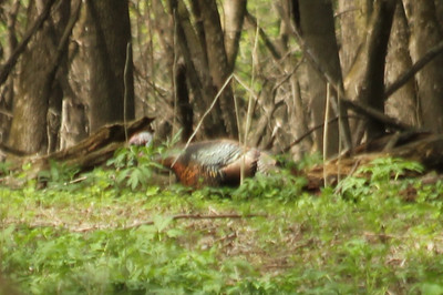 May 16, 2013 - (Fort Snelling State Park [Pike Trail] / West Saint Paul, Dakota County, Minnesota) -- Wild Turkey