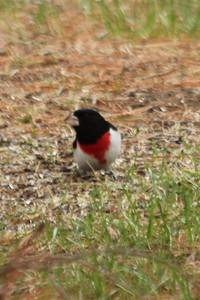 May 19, 2013 - (Sax-Zim Bog [feeders by home along small road] / Zim, Saint Louis County, Minnesota) -- Rose-breasted Grosbeak