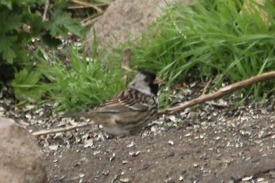 May 17, 2013 - (Minnesota Valley National Wildlife Area [under visitor center feeders] / Bloomington, Hennepin County, Minnesota) -- Harris's Sparrow