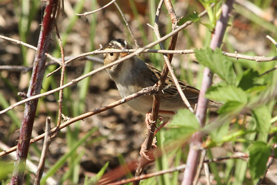 May 16, 2013 - (Minnesota Valley National Wildlife Area [Spur Trail] / Bloomington, Hennepin County, Minnesota) -- Clay-colored Sparrow