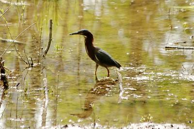 May 16, 2013 - (Fort Snelling State Park [Pike Trail] / West Saint Paul, Dakota County, Minnesota) -- Green Heron