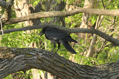May 16, 2013 - (Minnesota Valley National Wildlife Refuge [near visitor center feeders] / Bloomington, Hennepin County, Minnesota) -- American Crow feasting on a small bird