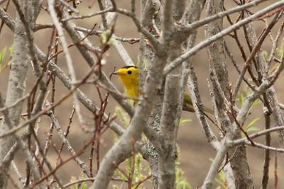 May 19, 2013 - (Sax-Zim Bog [edge of small road] / Zim, Saint Louis County, Minnesota) -- Wilson's Warbler