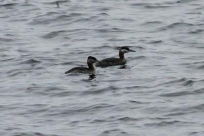 May 18, 2013 - (Rainy Lake [Last Island] / Fort Francis, Rainy River County, Ontario) -- pair of Red-necked Grebes