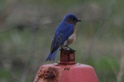 May 16, 2013 - (Minnesota Valley National Wildlife Area [visitor center] / Bloomington, Hennepin County, Minnesota) -- Eastern Bluebird on fireplug