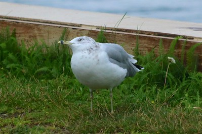 Ring-billed Gull @ Grand Marais