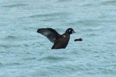Harlequin Duck (Male [Bottom]) @ Grand Marais Lighthouse