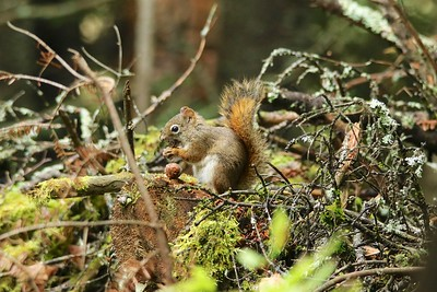 American Red Squirrel @ Sleeping Giant Provincial Park