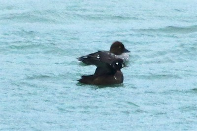 Common Goldeneye (Female [Top]) & Harlequin Duck (Male [Bottom]) @ Grand Marais Lighthouse