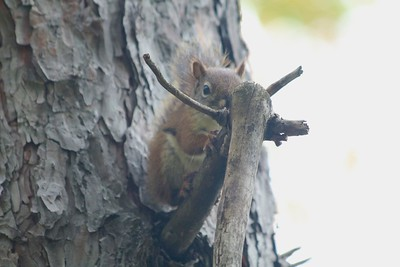 Squirrel @ Moose Lake SP
