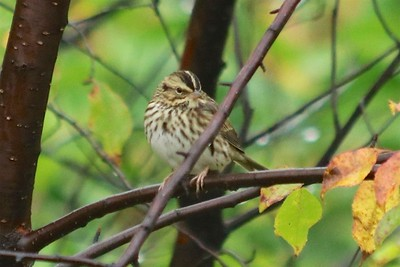 Song Sparrow @ Hurkett Cove Conservation Area