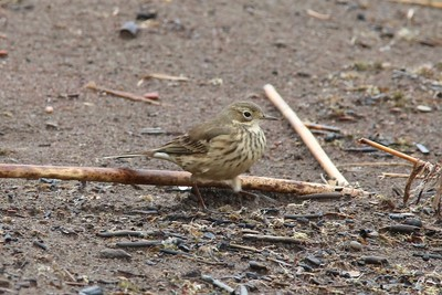 American Pipit @ Hurkett Cove Conservation Area