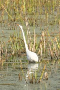 Great Egret @ Minnesota Valley NWR