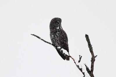 Great Gray Owl @ Sax-Zim Bog [Zim Road]