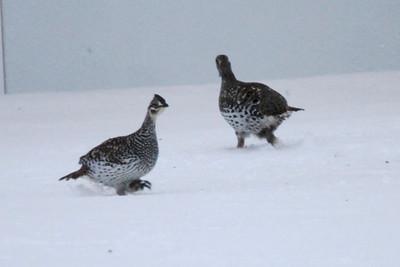 Sharp-tailed Grouse @ Sax-Zim Bog [Racek Road & Hwy. 29]