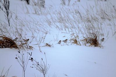 Snow Buntings @ Sax-Zim Bog [Hwy. 7]