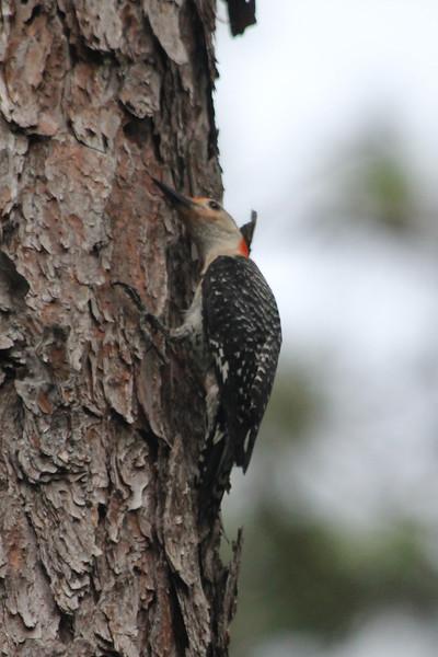 June 23, 2011 (Audubon Bird Sanctuary [near entrance] / Dauphin Island, Mobile County, Alabama) - Red-bellied Woodpecker