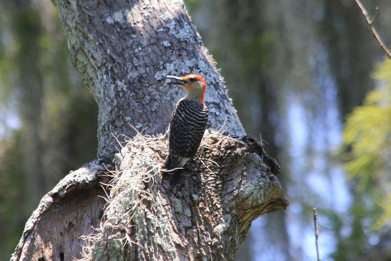 June 26, 2011 (Jean Lafitte National Historical Park & Preserve [Barataria Preserve/Bayou Coquille Trail] / Jefferson Parish, Louisiana) - Red-bellied Woodpecker