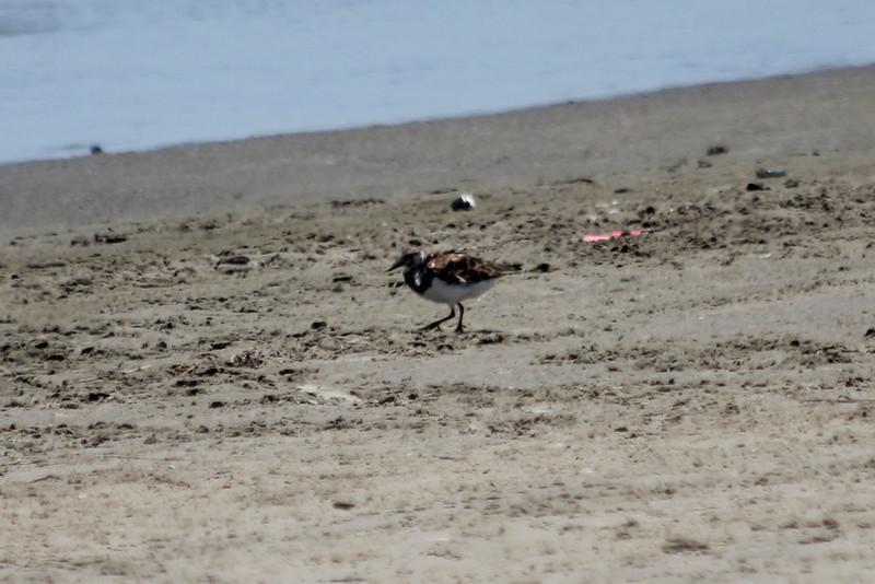 June 27, 2011 (Elmer's Island [Louisiana Wildlife Refuge] / Jefferson Parish, Louisiana) - Ruddy Turnstone
