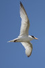 June 27, 2011 (Grand Isle State Park [beach] / Jefferson Parish, Louisiana) - Least Tern