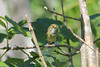 June 26, 2011 (Jean Lafitte National Historical Park & Preserve [Barataria Preserve Palmetto Trail] / Jefferson Parish, Louisiana) - White-eyed Vireo