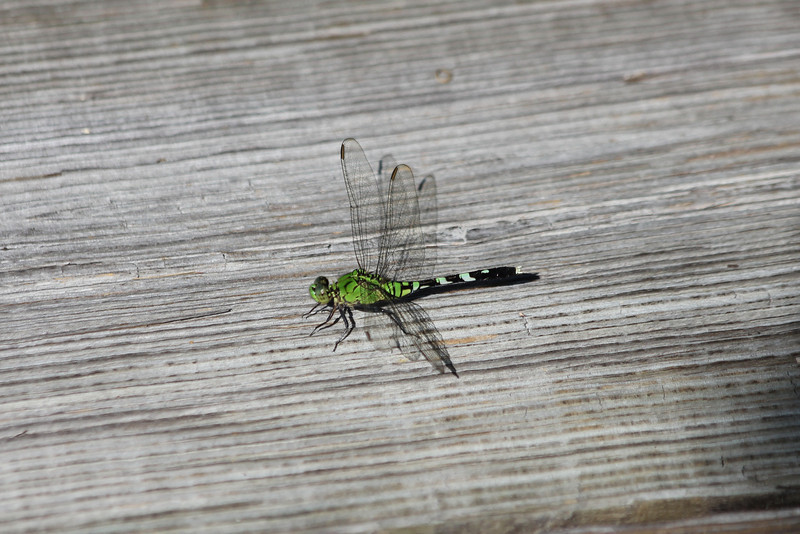 June 26, 2011 (Jean Lafitte National Historical Park & Preserve, Barataria Preserve [Barataria Preserve Visitor Center Trails] / Jefferson Parish, Louisiana) - Dragonfly